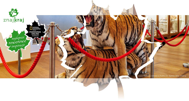 Tygrysy z Admont w Austrii