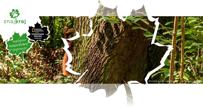 Wiewiórka w podpoznańskim lesie