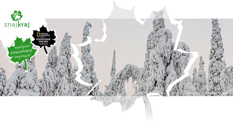 Zasypane śniegiem drzewa w rezerwacie Valtavaara