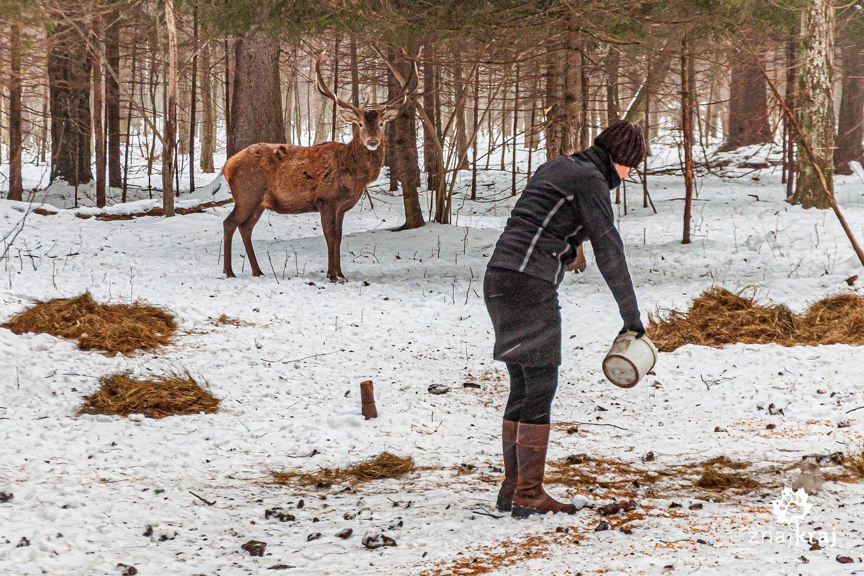 Ola karmiąca jelenie