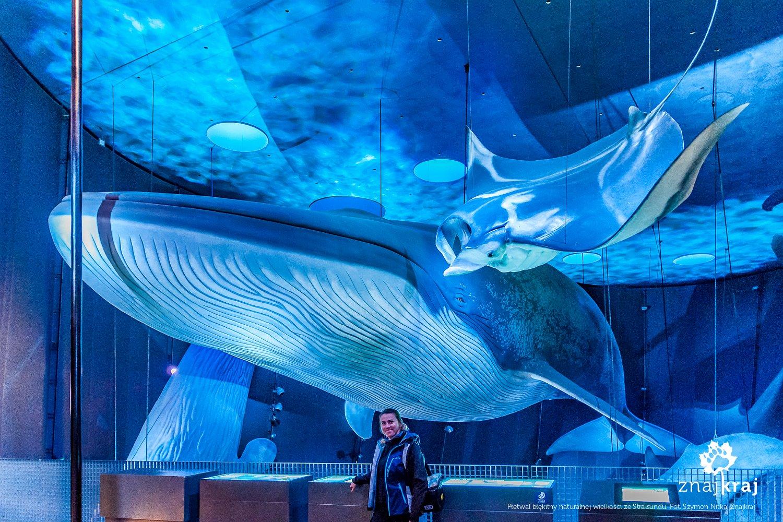 Płetwal błękitny naturalnej wielkości w Ozeaneum w Stralsundzie