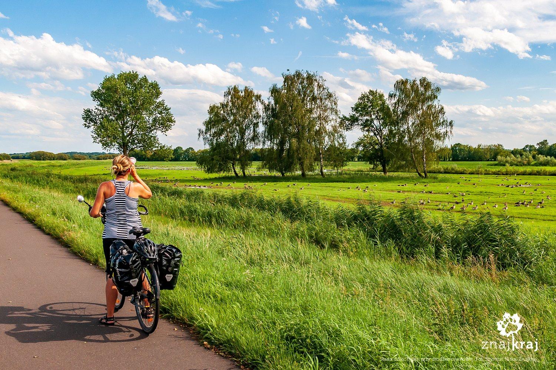 Stada dzikich gęsi przy drodze rowerowej